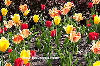 63821-20917 Warm Spring Day Tulips (Tulipa sp) at Cantigny Gardens, Wheaton, IL