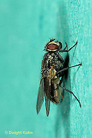 1H01-039a  House Fly - adult climbing wall - Musca domestica