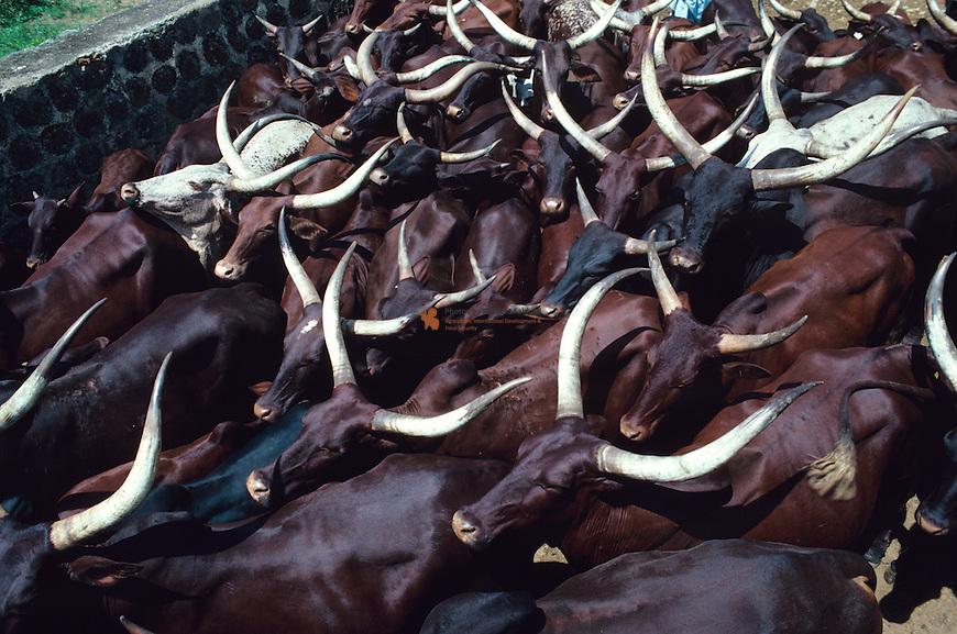 Red fulani cows entering dipping tank