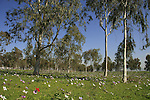 Israel, Anemone flowers and Eucalyptus trees in Jezreel Valley