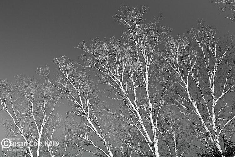 Birch trees in Hancock County, ME, USA