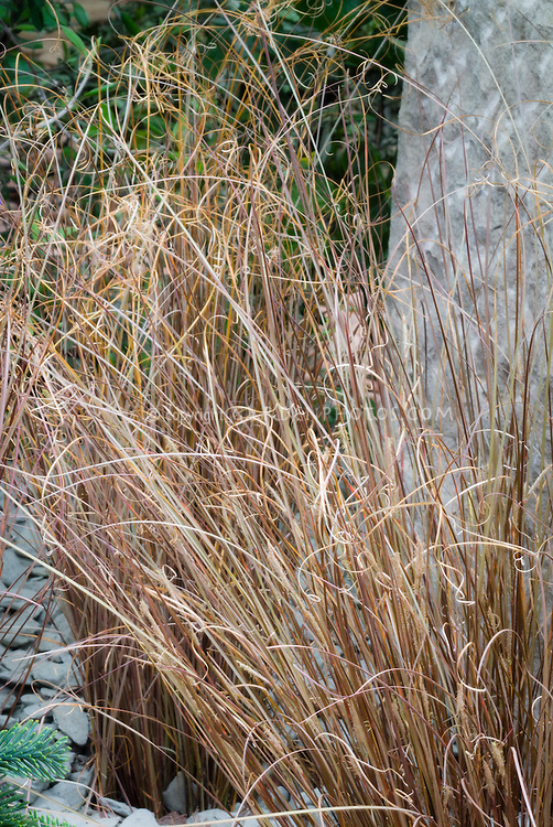 Carex comans 39 frosted curls 39 plant flower stock for Spiky ornamental grass