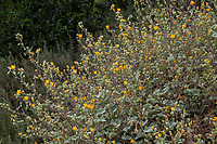 Abutilon palmeri - Indian mallow flowering California native perennial; Tree of Life Nursery