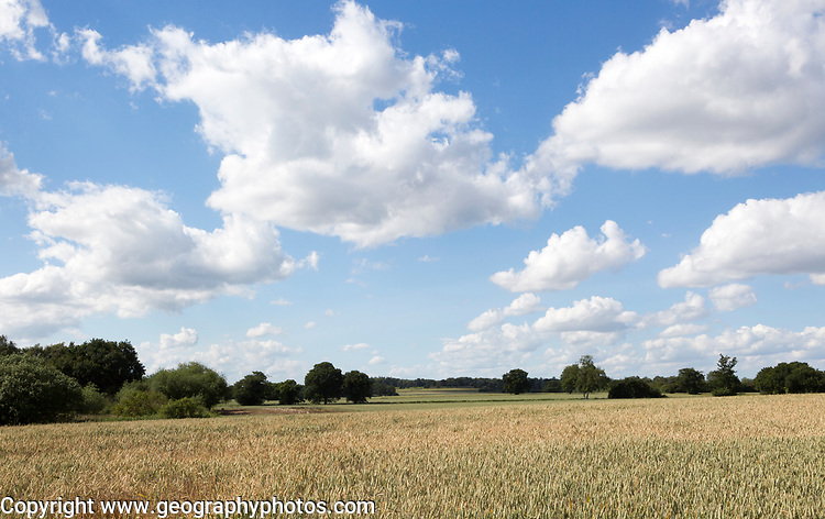 Fluffy white cumulus clouds above wheat field rolling countryside summer landscape, Sutton, Suffolk, England, UK