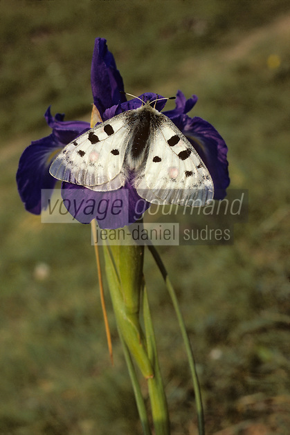 Europe/France/Aquitaine/64/Pyrénées-Atlantiques/Parc National des Pyrénées/Vallée d'Ossau: Iris et papillon