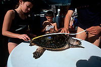 A Scientist demonstrates to children how to measure a Hawksbill Turtle, Eretmochelys imbricata, Eilat Underwater Observatory Marine Park, Eilat, Israel, Red Sea, MR