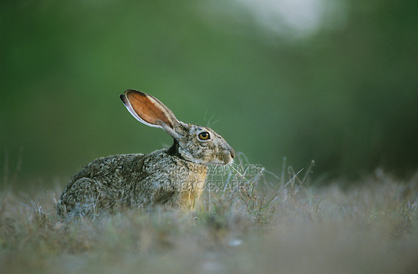 Black-tailed Jackrabbit, Lepus californicus, adult eating, Starr County, Rio Grande Valley, Texas, USA, May 2002