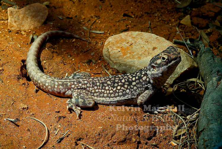 The Central Netted Dragon gets its name from the net-like pattern over the body. They are reddish brown or yellowish-brown in colour. It is a medium-size terrestrial lizard with relatively short legs, a low crest along the top of the neck, a narrow vertebral stripe, and a blunt snout.