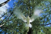 white tern, Gygis alba, adult , Midway Atoll, Papahanaumokuakea Marine National Monumen, Northwestern Hawaiian Islands, or Leeward Islands, Hawaii, USA