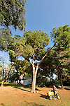 T-004 Pine tree in Kfar Saba