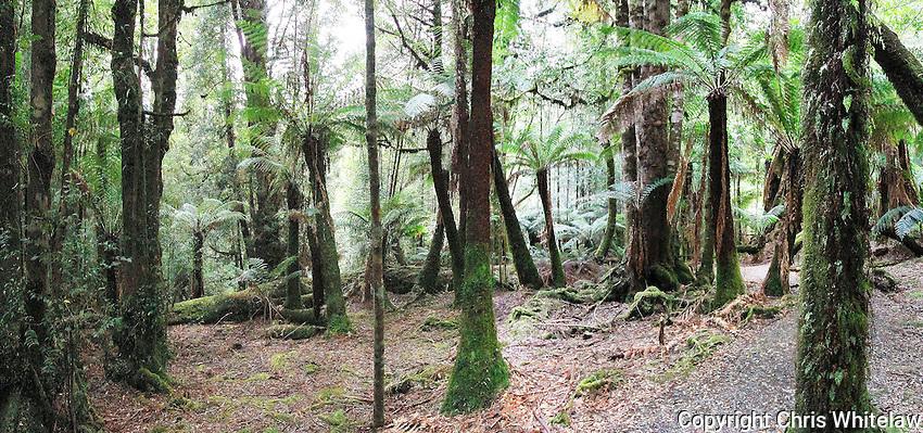 16_In the Big Tree Reserve, Styx Valley, Tasmania