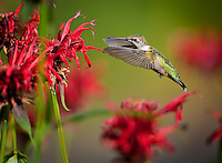 Ruby-throated Hummingbird with wings forward, feeding at Red Bee Balm flowers