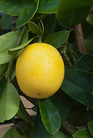 Lemon growing