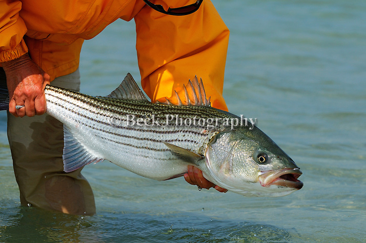 Cape Cod Striped Bass
