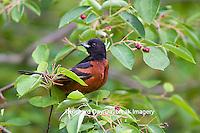 01618-01315 Orchard Oriole (Icterus spurius) male in Serviceberry bush (Amelanchier arborea) Marion Co. IL