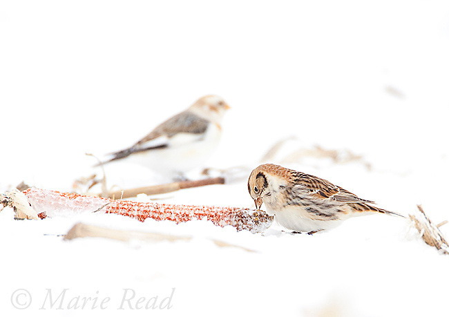 Lapland Longspur (Calcarius lapponicus), non-breeding plumage, feeding on corncob on snow-covered ground, (Snow Bunting (Plectrophenax nivalis) in background), New York, USA