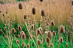 A073YP Teasel stalks and flowerheads growing in marshy land by the River Deben Suffolk England