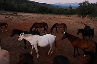 Wild horses are social animals looking out for the herd as others graze.<br /> <br /> Dianne Nelson has saved mustangs on a ranch in northern California.  &quot;It was in 1978 that the Wild Horse Sanctuary founders rounded up almost 300 wild horses for the Forest Service in Modoc County, California. Of those 300, 80 were found to be un-adoptable and were scheduled to be destroyed at a government holding facility near Tule Lake, California. <br /> <br /> The Sanctuary is located near Shingletown, California on 5,000 acres of lush lava rock-strewn mountain meadow and forest land. Black Butte is to the west and towering Mt. Lassen is to the east. <br /> Their goals:<br /> Increase public awareness of the genetic, biological, and social value of America's wild horses through pack trips on the sanctuary, publications, mass media, and public outreach programs.<br /> Continue to develop a working, replicable model for the proper and responsible management of wild horses in their natural habitat.<br /> Demonstrate that wild horses can co-exist on the open range in ecological balance with many diverse species of wildlife, including black bear, bobcat, mountain lion, wild turkeys, badger, and gray fox.<br /> Collaborate with research projects in order to document the intricate and unique social structure, biology, reversible fertility control, and native intelligence of the wild horse.