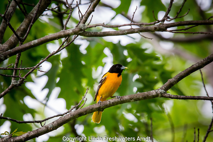Baltimore oriole - male