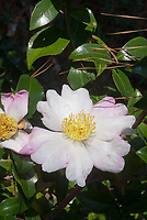 Camellia sasanqua 'Hanajiman' aka Hana Jiman Camellia in white and pale pink autumn flower