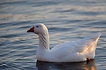 A snow goose enjoys a winter afternoon on the Mississippi River