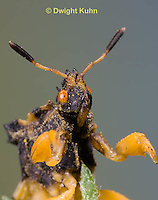 AM10-527z  Ambush Bug, male face, close-up of eyes, beak and antennae, Phymata americana