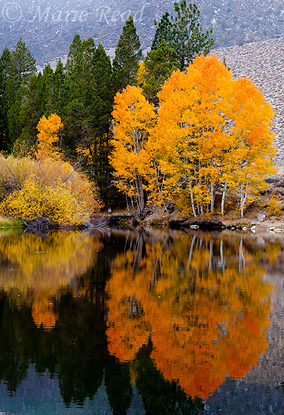 Quaking Aspens with golden foliage in autumn, Lee Vining Canyon, Mono Lake Basin, Callifornia, USA