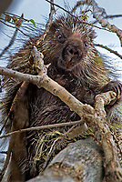 672950004 a wild porcupine erithizon dursatum sits in a tall tree on a national wildlife refuge just outside canadian texas united states