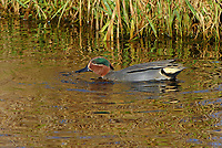 Krickente, Krick-Ente, Männchen, Erpel, Anas crecca, Eurasian teal, common teal, green-winged teal, male, La Sarcelle d'hiver