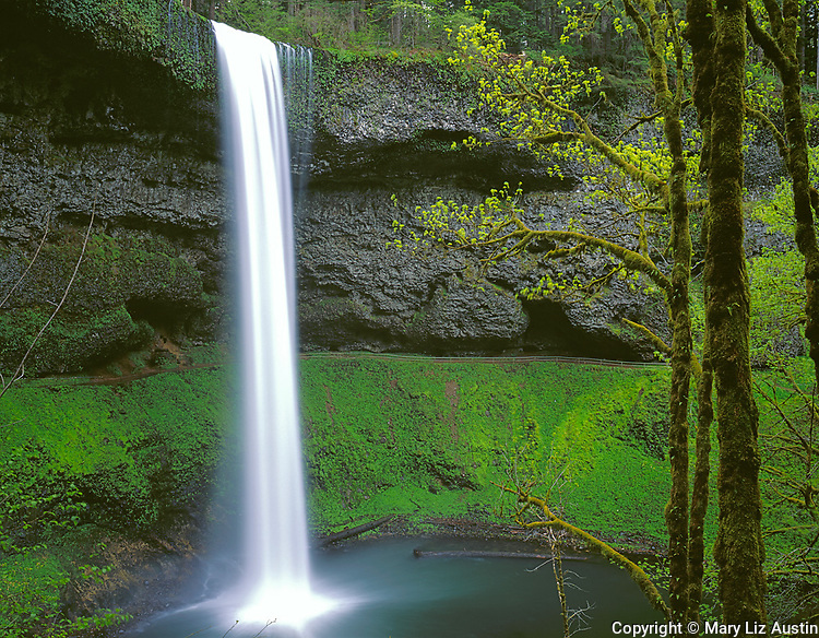 Silver Falls State Park, OR<br /> Big Leaf Maples with moss covered trunks and emerging spring leaves along the trail overlooking South Falls in Silver Creek Canyon