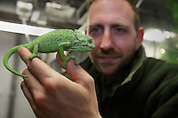 Zookeeper Olivier Marquis holding a Common Chameleon (Chamaeleo chamaeleon) in the animal rearing section of the Vivarium, a controlled area for observing and researching animals, at the new Parc Zoologique de Paris or Zoo de Vincennes, (Zoological Gardens of Paris or Vincennes Zoo), which reopened April 2014, part of the Musee National d'Histoire Naturelle (National Museum of Natural History), 12th arrondissement, Paris, France. Picture by Manuel Cohen