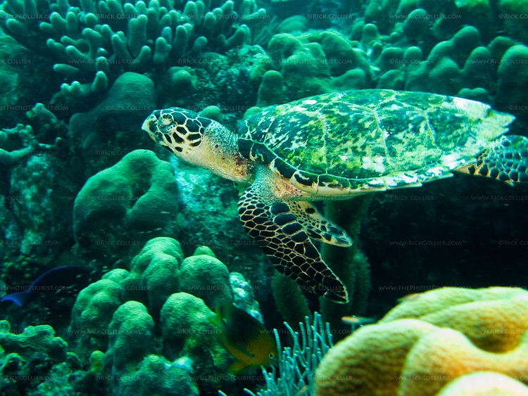 """Diving Bonaire, Netherland Antilles -- A small hawksbill turtle soars across the reef.  (""""Karpata"""" dive site)."""