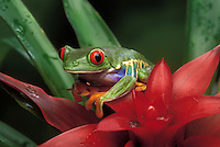 RED-EYED TREE FROG/Red-Eyed Leaf Frog..Central America. Captive..Agalychnis callidryas.