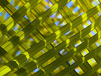 A close-up of two overlaid palm fronds, Big Island.