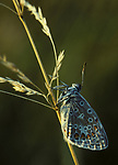 Common Blue butterfly (Polyommatus icarus) resting on grass tem, evening sunlight