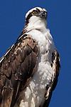 USA; California; La Jolla; San Diego:; Rare Osprey in La Jolla
