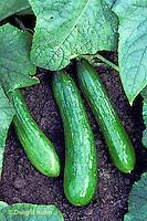 HS36-010c   Cucumber - Sweet Alphee variety