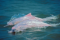 Chinese white dolphin or Indo-Pacific Ocean humpback dolphins, Sousa chinensis, note abscense of hump, Hong Kong, China