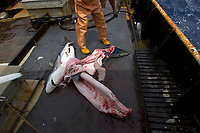 Fisherman cuts silky shark, Carcharhinus falciformis, and blue shark, Prionace glauca, offshore commercial longline shark fishing, Brazil, Atlantic Ocean