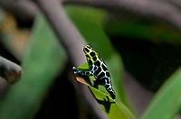 428930008c a captive variable poison arrow frog ranitomeya variabilis perch on a plant leaf in its terrarium in the long beach aquarium
