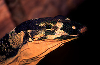 The lace monitor grows to between 1.5 and 2 metres in length, it is a dark steel grey above with pale yellow or cream bands or rows of spots. The underside is cream. The jaws and snout are usually strongly barred with yellow and dark grey. A second colour form known as Bell's phase occurs in some areas of Queensland which has strong dark grey and yellow bands all along the body. The toes are equipped with long, strong claws, which are used for climbing. The tongue is long and forked like a snake . Monitors are the only lizards that have a forked tongue.