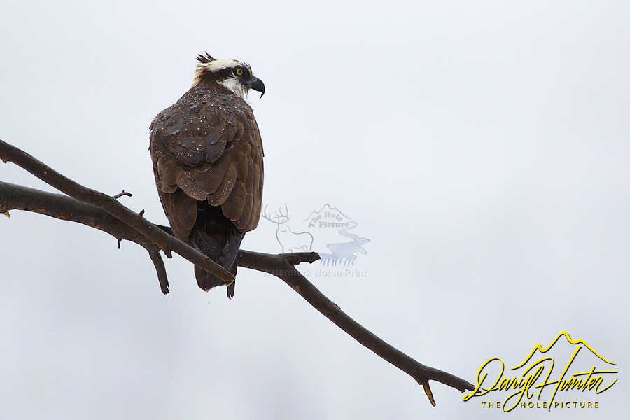 Osprey on a rainy moring in Yellowstone National Park