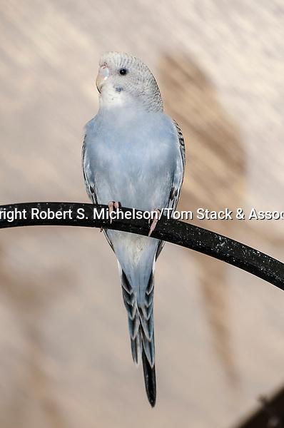 budgerigar light blue color phase full body view