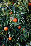"Clementines grow on a tree behind Bonnie Hines' Sun City home December 8, 2010..""It's gentle, it's quiet,"" she said of Sun City. She exercises at the gym every other day, as well as golfing and is active in the stained glass club...2010 marks the 50th anniversary of Sun City, America's first retirement city that remains the largest today with more than 40,000 residents 55 and older."