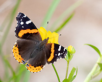 Red Admiral Butterfly on a wildflower in Texas