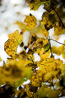 Autumn Leaves Fall Color Scenic Western Maryland