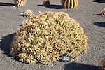 Ferocactus Robustus, Jardin de Cactus designed by César Manrique, Guatiza, Lanzarote, Canary Islands, Spain