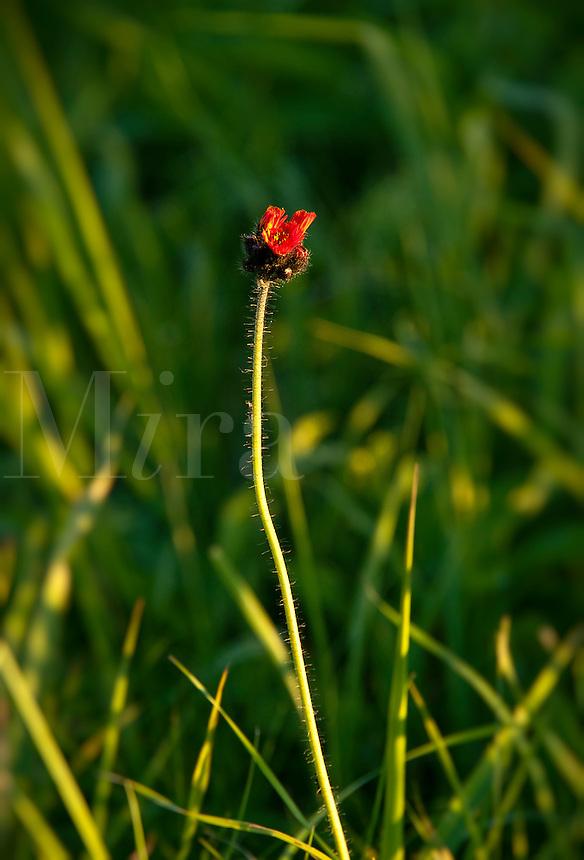 Single poppy bud.