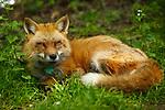 20170525 Lakeville Fox