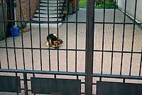 Guard dog behind the gate in Poland. Rawa Mazowiecka Central Poland